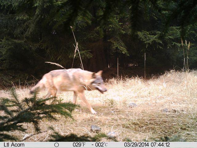 Vlk vyfocený na Kokořínsku. Zdroj: AOPK ČR, Správa CHKO Kokořínsko
