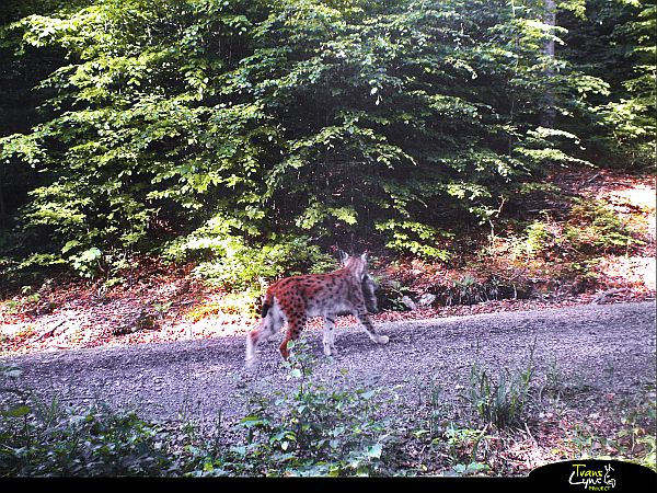 Rysice Tanja s mládětem. Zdroj: projekt Trans-Lynx