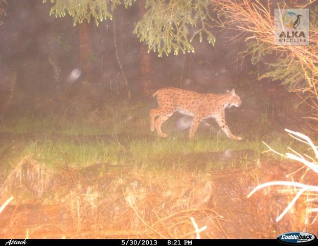 Rys Bond. Zdroj: ALKA Wildlife
