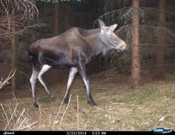Fotografie losa, zaznamenaného u Lipna v březnu 2014, autor: Trans-Lynx Projekt