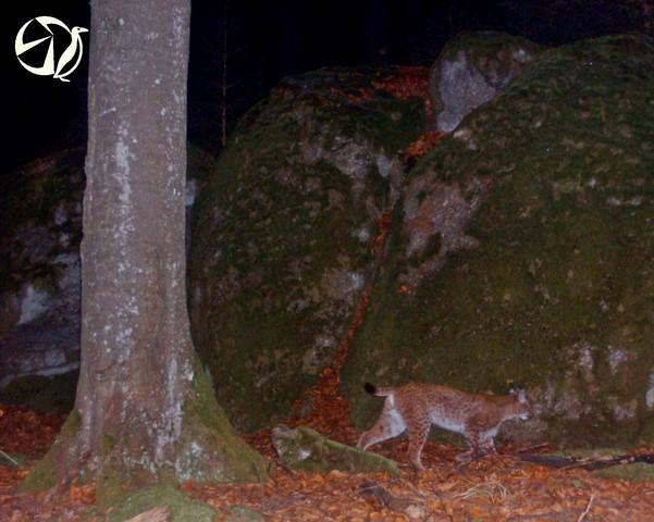 autor: ALKA Wildlife; První záznam - Sivestr 2015.