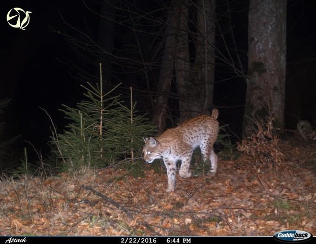 Rys Jan, zdroj: fotoarchiv ALKA Wildlife