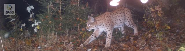 Rys Luděk, Foto: Alka Wildlife