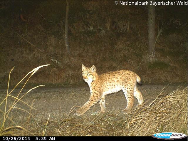 Rys Jan jako půlroční kotě v NP Bavorský les. Zdroj: Správa NP Bavorský les