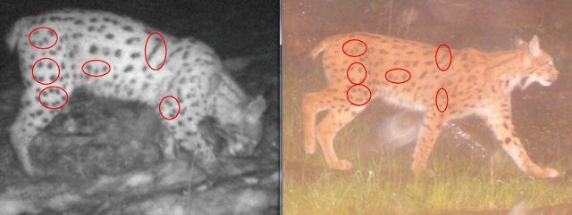 Fotografie z fotopastí umožňují jednoznačnou identifikaci jednotlivých rysů.