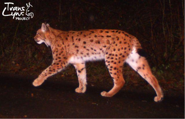 Rys zachycený na fotopastech v rámci projektu Trans-Lynx. Zdroj: Trans-Lynx
