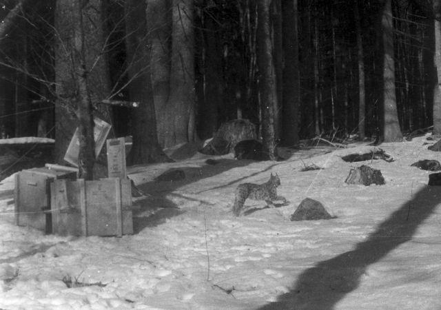 Vypouštění rysa na Šumavě v roce 1982. Foto: L. Kunc