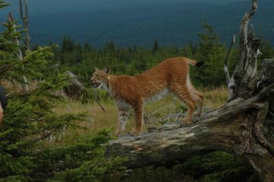 Projekt Trans-Lynx